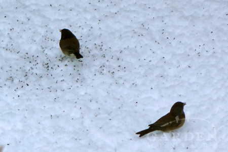Juncos foraging seed in snow