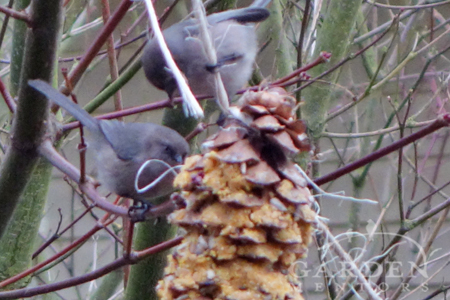 bushtits on DIY cone feeder