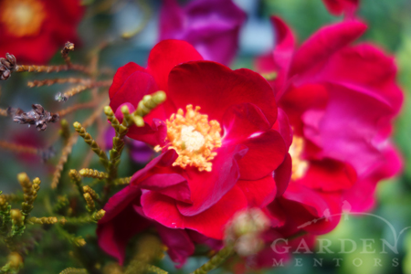 Flower Carpet® red rose