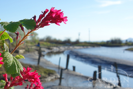 Ribes in bloom by Slough Foods in Edison