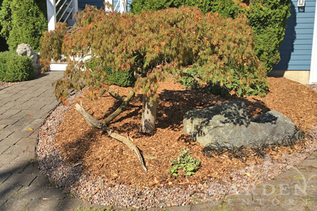 Pruned Japanese maple tree