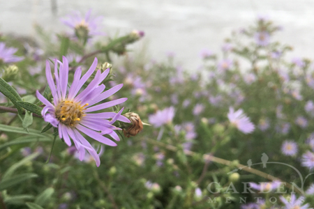 Aster subspicatus Douglas aster