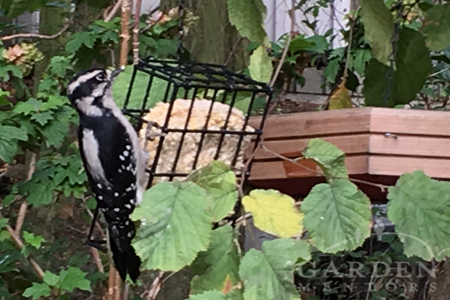 Downy Woodpecker at Garden Feeder