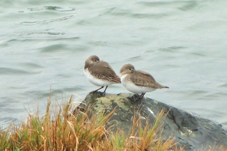 Dunlin shore bird fauna photography