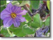Eggplant Flowering and Setting Fruit