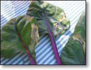Mined Rainbow Chard Leaves