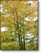 Fragrant tree: Katsura showing Yellow Fall Color