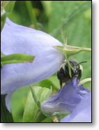 Resting in the Campanula