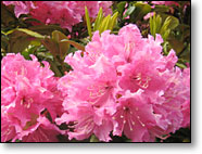 Rhodie Blooms & New Leaves in May