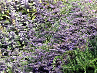 Sage, Rosemary and Lavender Melding in the Garden