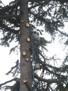 Commercial Arborist Removing Tree