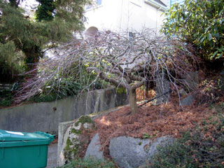 How to prune Japanese Maple trees: After Clean Up