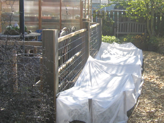 Brassica and Spinach Bed covered with floating row cover