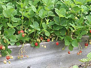 Ripe June and Everbearing Strawberries