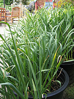 Tubs of Maturing Garlic in June 2009