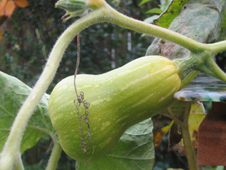 Butternut Squash Ripening on the Vine