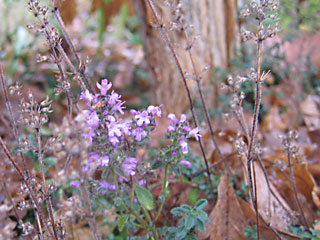 Thyme - Still Blooming under a covering of Acer triflorum leaves
