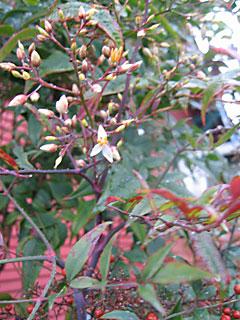Nandina Domestic - Fall Foliage, Flowers & Berries