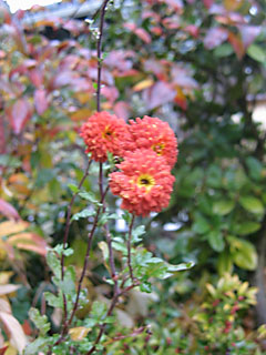 Rusty Mum Backed by Sarcococca ruscifolia Berries & Viburnum Fall Foliage