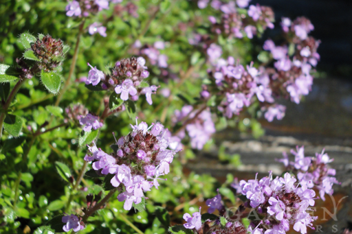 Fresh Edible Thyme Growing in the Garden