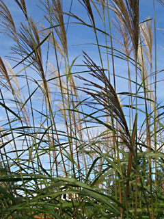 Miscanthus in Autumn