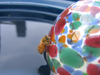 Honey Bee Climbing Glass Float After Taking a Drink