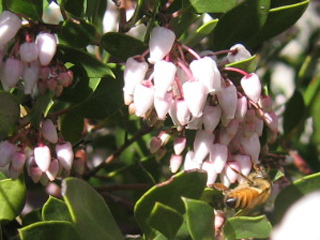 Honeybee on Manzanita