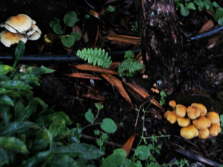 "Armillaria ""Bloom"" in Autumn"