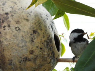 Chickadee Delivering Fresh-from-the-garden food to it's Young