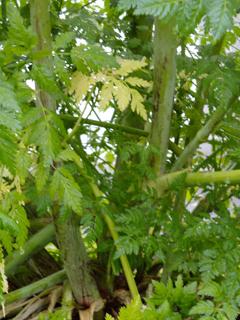 Purple streaking on Conium maculatum lower stalks