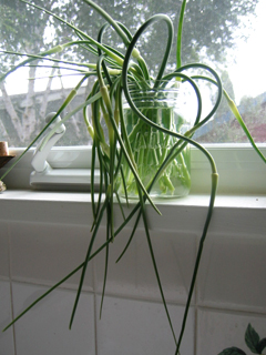 Clipped Garlic Scapes Kept Fresh & Ready to Use in Cool Water