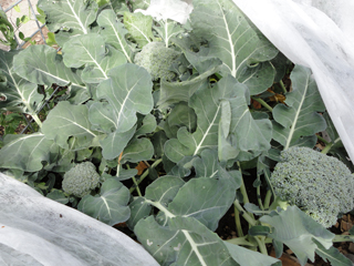 A peek under the row cover reveals bountiful, pest-free broccoli