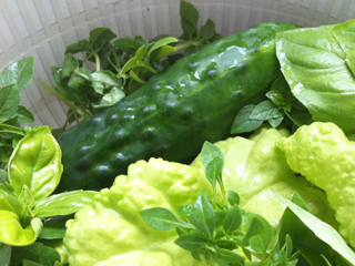 Mixed Basil & a Cucumber Fresh from the Garden