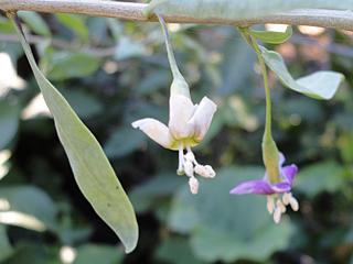 Goji Berries Finally Blooming - Will We Get Fruit?!