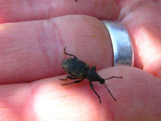 Tiny, Adult Weevil