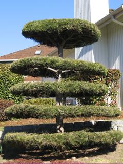 Pinus diskus (or Pinus disgustus)