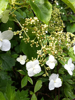 Climbing Hydrangea - Another post dedicated to this beauty coming soon!