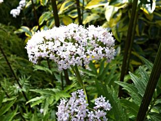 Stinky Valerian - a Beautiful Bee Favorite!