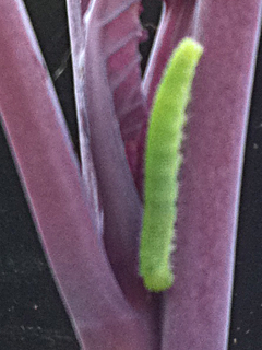 Bright Green Worm on Purple Cabbage - Ready for Squishing!