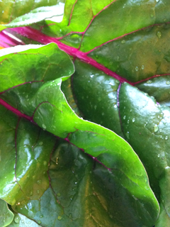 Tender, Beautiful, Freshly Picked Chard from the Garden