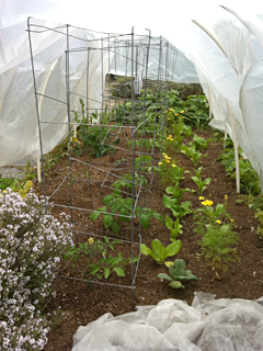 In one hoop house: Thyme, carrots, lettuce, tomatoes & beets growing nicely