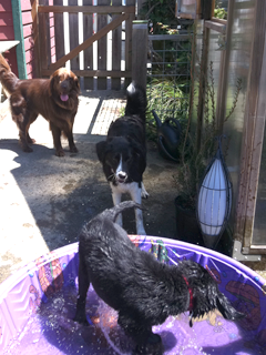 Puppy Playmates making good use of the back patio and Greenhouse area