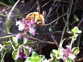 Foxley Thyme & Honeybee
