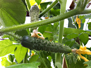 Cucumbers Forming