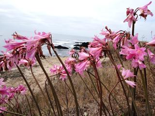 Naked Ladies blushing pink on the Mendocino Headlands
