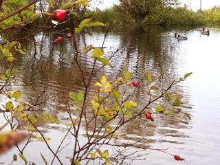 Wild Rose Hips Brightening a Duck Pond Thicket