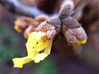 Witch Hazel on 2012 New Year Day
