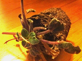 Chomped African Violet