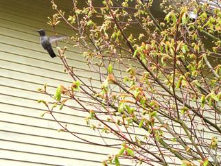 Hummingbird Sentry