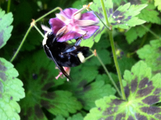 Huge Bumblebee harvesting from Geranium